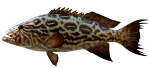 broomtail-grouper-costa-rica